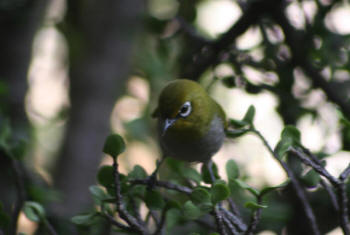 Cape White Eye Kruger Park