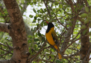 Kruger Park Eastern Black Headed Oriole