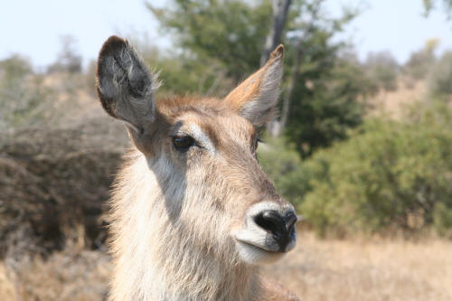 Kruger National Park Waterbuck Female
