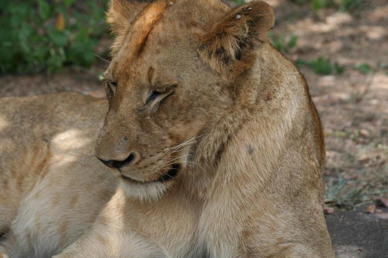 afrikaans list of mammals of kruger wildtuinKrugerwildtuin.htm #20