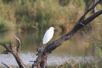 Kruger Park Little Egret