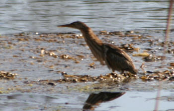 Little Bittern Kruger National Park