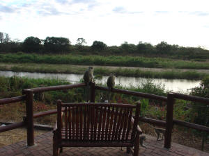 Kruger Park - Monkeys Watching Sabie River