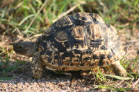 The Little Five: The Leopard Tortoise