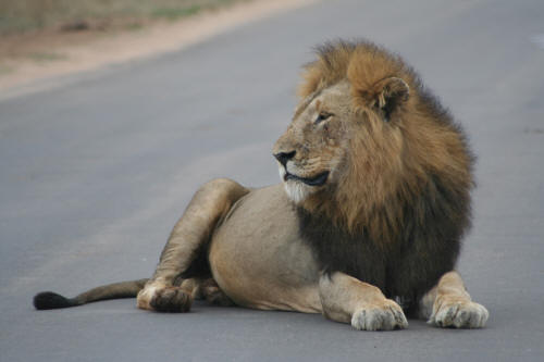 Kruger Male Lion sitting in road