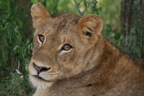 Kruger female lioness close up