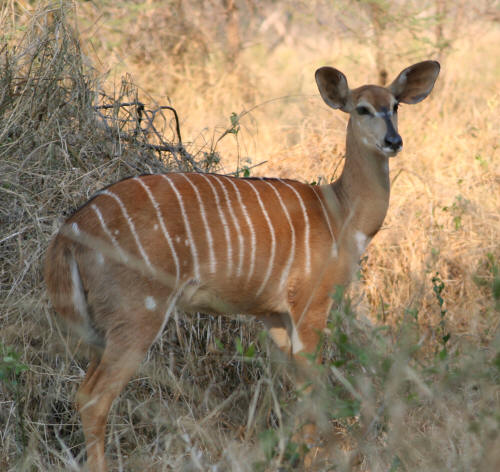 Female ewe Nyala in Kruger Park