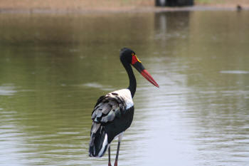 Kruger Park Saddle Billed Stork
