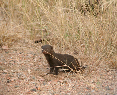 Dwarf Mongoose - Kruger National Park