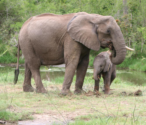 Mother and baby African Elephant Kruger Park