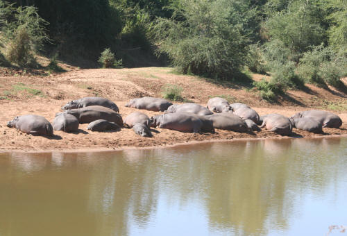 Pod of Hippos in the Kruger Park