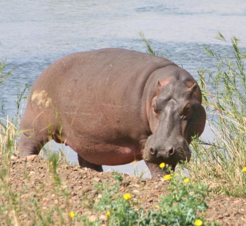 Kruger National Park Hippo out of water