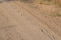 African Rock Python tracks close to shingwedzi