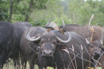 Punda Maria rest camp wildlife buffalo