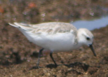 Kruger Park Little Stint