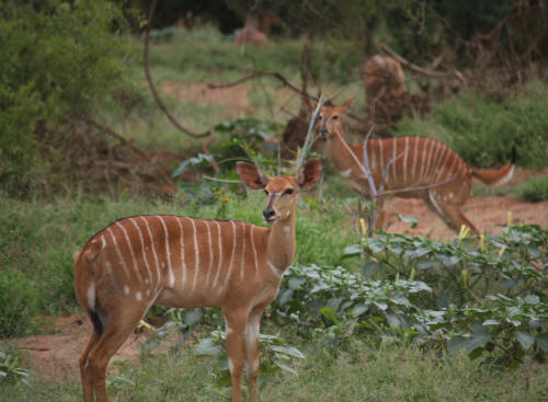Herd Of Nyala in Pafuri Kruger National Park