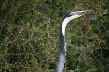 Kruger Park Blackheaded Heron