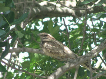 European Nightjar Kruger National Park