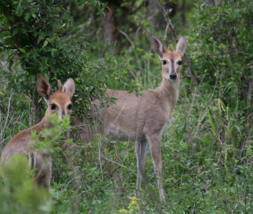 Male and female common duiker pair in kruger
