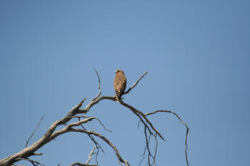 Kruger Park Greater Kestrel