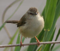 Tawnyflanked Prinia at Skukuza