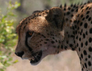 Where to find cheetah in the kruger national park