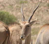 Where to see eland in the kruger national park