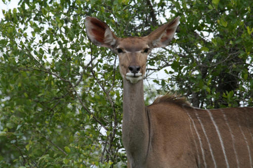 Female Kudu in the kruger national park