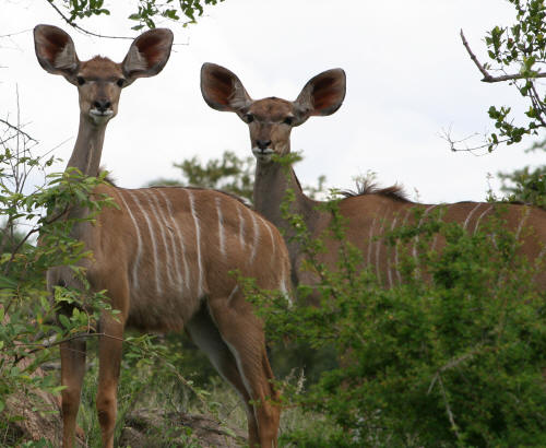 Young Kudus in the kruger national park