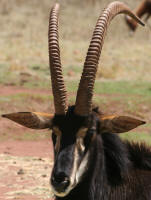 Where to see sable antelope in the kruger park