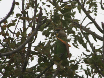 Brown Headed parrot Kruger Park