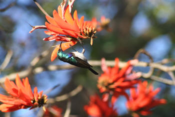 Kruger Park White Bellied Sunbird