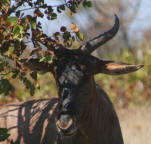 Where to see Tssessebe in the kruger national park
