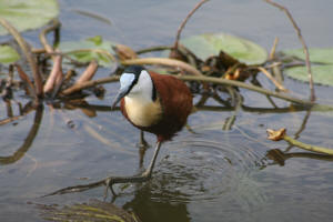 African Male Jacana