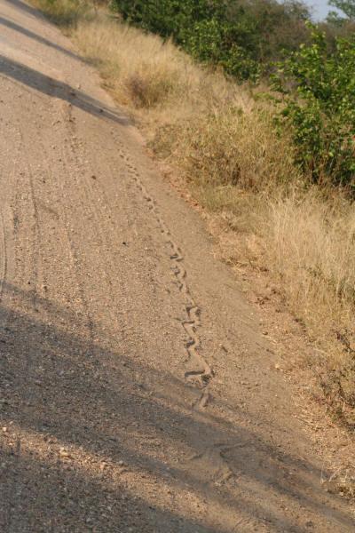 African Python Snake Tracks in the Sand Kruger National Park