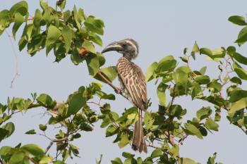 African Grey Hornbill ( Tockus nasutus fam. Bucerotidae) Kruger Park  Birds & Birding.