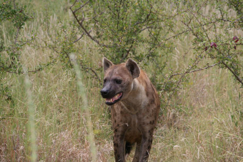 Spotted (Laughing) Hyaena in Olifants area Kruger