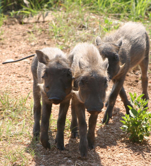 Young Kruger Park Warthogs
