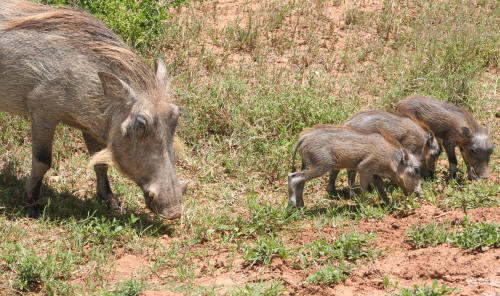 Kruger Park Family Of Warthogs