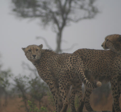Pair of Kruger National Park Cheetahs