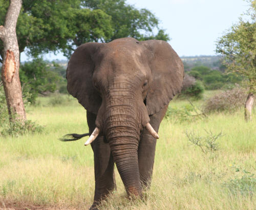 Kruger National park Bull Elephant