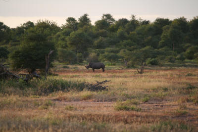 White Rhino In an open piece of Kruger Park wilderness